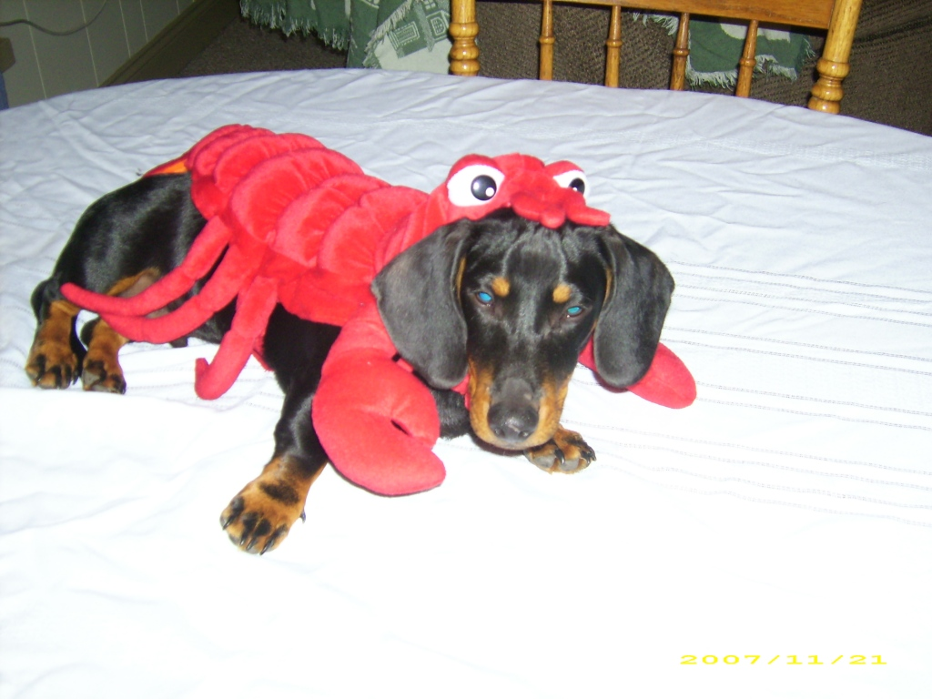 Wilson - 1 year old daschund (as a lobster for Halloween)