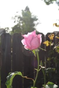 roses pretty